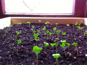 pflanzen_keimlinge